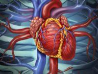 Сердце и крупные сосуды